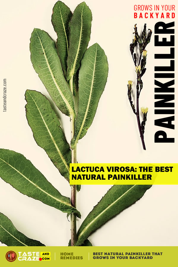 Best Natural Painkiller That Grows In Your Backyard Lactuca virosa #Painkiller #BestNaturalPainkiller #BestPainkiller #NaturalPainkiller