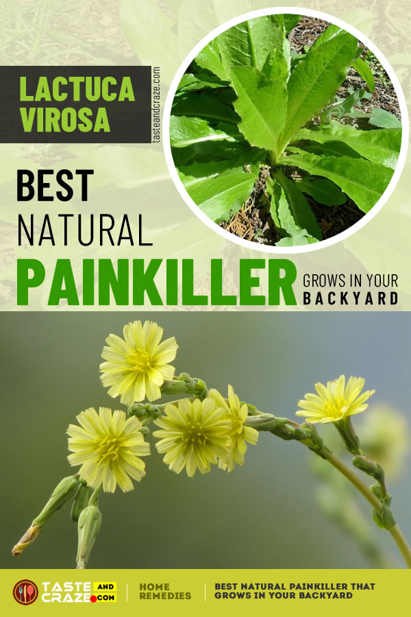 Best Natural Painkiller That Grows In Your Backyard #Painkiller #BestNaturalPainkiller #BestPainkiller #NaturalPainkiller